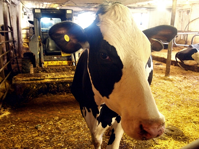 Cow - Meaford, Ontarion - Farm